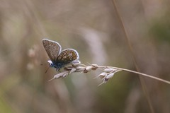 Common Blue On Wheatear (Barbara Evans 7) Tags: uk blue butterfly hampshire barbara common evans7