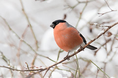 Winter #2 (Andrew_Leggett) Tags: winter red white snow cold bird bullfinch pyrrhulapyrrhula rspboldmoor andrewleggett