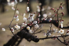 (eyawlk60) Tags: beautiful canon eos 5d  ume        plumgarden