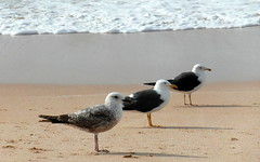 oualidia trio (kexi) Tags: ocean africa wallpaper seagulls white 3 beach water birds march three sand shadows samsung morocco foam maroc 2015 maroko instantfave oualidia wb690