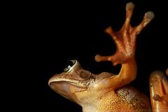Frog (Sander Freitas) Tags: animal wildlife amphibian frog ra canon70d sigma150mmf28exdgosmacrohsm