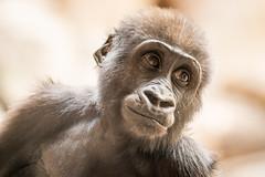 2015-12-31-10h18m55.BL7R5525 (A.J. Haverkamp) Tags: germany zoo gorilla leipzig sachsen dierentuin westelijkelaaglandgorilla diara canonef100400mmf4556lisusmlens httpwwwzooleipzigde pobleipziggermany dob11032014