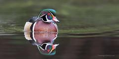 Wood duck _V8A0598 (dominiquemartin146) Tags: duck britishcolumbia waterfowl woodduck