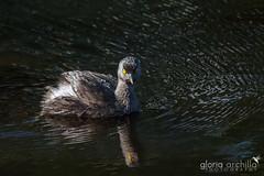 Least Grebe_Tigua_Tachybaptus dominicus (Gloria Archilla) Tags: birds puertorico aves leastgrebe tachybaptusdominicus tigua canon7d gloriaarchilla loscorozos