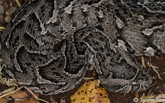 Bitis arietans - Puff Adder. From Naboomspruit, Limpopo. (Tyrone Ping) Tags: africa macro southafrica dangerous african south puff snakes adder limpopo venomous bitis 100mmmacrof28 southafricanreptiles bitisarientanspuffadderoudtshorn wwwtyronepingcoza