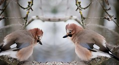 Ganz sche kalt ischs (Weinstckle) Tags: winter vogel rabenvogel eichelhher plustern