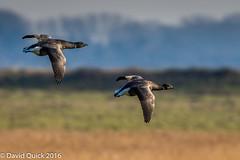 (DavidQuick) Tags: england reserve hampshire marsh wildlifetrust farlington brentgeese copyrightdavidquick2016