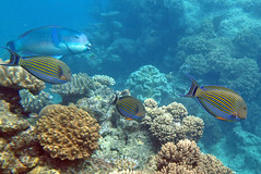 Lined surgeonfish, Great Barrier Reef, Australia (Hawkfish) Tags: underwater australia snorkeling queensland greatbarrierreef tang marinelife surgeonfish canonpowershots100 linedsurgeonfish