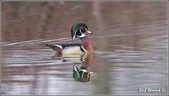 Wood duck (Earl Reinink) Tags: ontario canada nikon niagara earl waterfowl woodduck duch naturephotograhy earlreinink reinink nikond4s uuddiahdoa