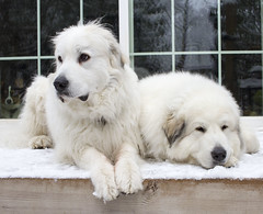 Like an old married couple 3 (POOLEworks | roger) Tags: henri greatpyrenees chlo