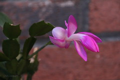 Christmas in February (DML0mba) Tags: house plant christmascactus bloom yarmouth chistmas kapechick