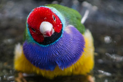 Gouldian Finch (MarksGonePublic) Tags: finch gouldian gouldianfinch