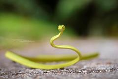 Ahaetulla prasina (Matthieu Berroneau) Tags: trip 2 macro nature animal reptile snake mark g wildlife sony 7 vine malaysia serpent fe alpha oriental animaux 90 ff f28 herp malaisie oss liane reptilia reptilian a7ii 24x36 7ii prasina herping ahaetulla ahaetullaprasina orientalvinesnake 7mk2 a7mk2 sonya7ii ilce7m2 sonya7mk2 sonyilce7m2 sonyalpha7mark2 sonyalpha7ii sel90m28g fe90f28macrogoss objectifsony90mmf28macrofe sonyfesonyfe2890macrogoss sonyfe2890goss