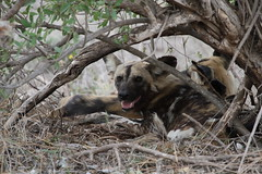 Painted dogs (Going Nowhere Slowly) Tags: wild dogs southafrica painted wildlife under safari cover krugernationalpark satara canon100400mm canon7d