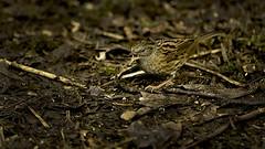 The dunnock. (wayne24185071) Tags: red bird floor outdoor song dunnock camo calling squeak shouting cheecky