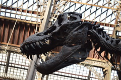 Study The Beast (dhcomet) Tags: history museum skeleton fossil dinosaur natural stan cast oxford rex oxfordshire tyrannosaurus oxon
