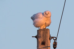 Snowy Owl, White County, Indiana.  February 6th, 2016 (Ryan J Sanderson) Tags: 2016 whitecounty ryansandersoncanon7dmarkii27d27diisnowyowl indianafebruary6th