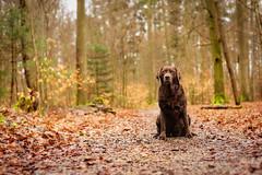 Waldfee II (uwe.kast) Tags: dog nikon labrador hund labradorretriever wald d3 nikond3 labradorredriver