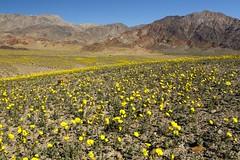 Thanks El Nino! (Laura Zirino) Tags: california ca flowers landscape landscapes spring deathvalley nationalparks dailynaturetnc16