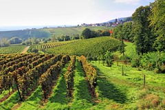 Weinfelder (1) (menzelhd) Tags: deutschland pfalz wein weinberg weinstock rebe winzer weinbau sdpfalz edenkoben weinfeld sdlicheweinstrase