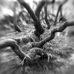 Nether Wood 89 - Willows (Adam Clutterbuck) Tags: wood uk greatbritain england blackandwhite bw tree monochrome lensbaby square landscape mono blackwhite unitedkingdom britain somerset bn elements gb bandw sq mendips charterhouse undergrowth nether greengage netherwood adamclutterbuck sqbw bwsq showinrecentset