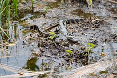 7K8A8481 (rpealit) Tags: nature arthur scenery wildlife marshall national r babie refuge alligators loxatchee