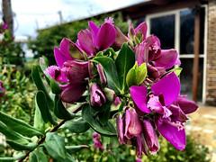 Polygala Myrtifolia (RobW_) Tags: garden march sunday greece zakynthos tsilivi 2016 polygala diaryphoto myrtifolia mdpd2016 mdpd201603 27mar2016