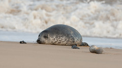 Grey Seal Pup - resting in the surf - Winterton Beach (Clive_Bushnell) Tags: uk winter sea slr beach nature digital canon eos grey coast seaside wildlife north norfolk gray atlantic telephoto seal seals british clive winterton bushnell greyseal wintertononsea mamals halichoerus grypus clivebushnell