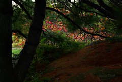through the tree (Jan_ice) Tags: autumn tree pine sumac underthetree