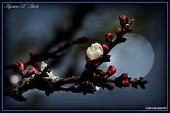 Dall'albero di pero - Marzo-2016 (Agostino D'Ascoli) Tags: macro art nature alberi photoshop nikon artistic digitalart fiori nikkor piante marzo sicilia pero cianciana