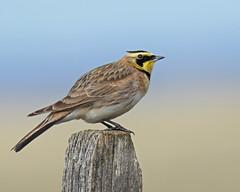 Horned Lark (Keith Carlson) Tags: larks hornedlark eremophilaalpestris