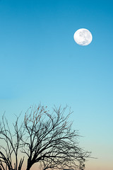 Natural Satellite (Kash Khastoui) Tags: moon tree nature set sunrise landscape photographer satellite sony australia 55mm nsw outback fe za tamworth kash khashayar a7r breeza khastoui