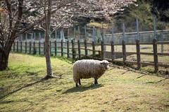 (23fumi) Tags: animal spring nikon dof sheep bokeh 85mm miyazaki cherryblossom   d600   afs85mmf18g