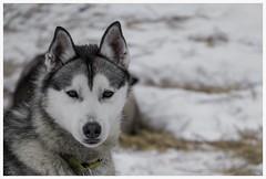 thoughtful (i.v.a.n.k.a) Tags: finland husky lappland