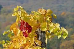 Goldener Oktober 05 (lady_sunshine_photos) Tags: austria europa herbst niedersterreich weinstock gumpoldskirchen herbstfrbung