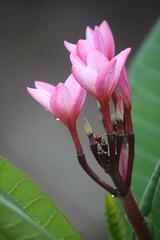 FRANGIPANE FLOWERS (h.nijssen5 IN SURINAME NOW) Tags: pink frangipane plumeria fragrant frangepane