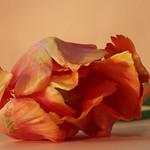 Orange tulip thumbnail