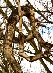 Tied up in knots. (S.K.1963) Tags: sky tree up woods elements tied knots