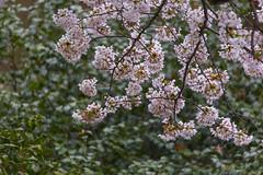 Mitsuike Park  (Propangas) Tags: park flower tree japan spring jp  sakura yokohama