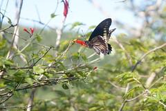 Linda borboleta (Insecta: Lepidoptera) (alcesterdiego) Tags: brasil fauna flora lepidoptera borboleta bahia ecologia semirido caetit insentos