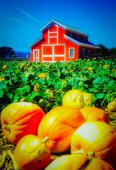 Pumpkin Farm (richham14 - (Mr Cubs}) Tags: halloween pumpkin farm richardhammond richham14