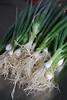 Onions Green Parade