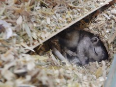 DSCN0820 all tucked up (therovingeye) Tags: pets gerbil rodents gerbilhabitat
