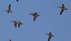 pink-eared duck (Malacorhynchus membranaceus)-2569 (rawshorty) Tags: birds australia canberra act rawshorty