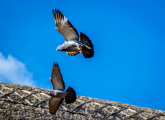Pigeons in flight (williams19031967) Tags: bird nature birds outdoors flying inflight nikon zoom dove pigeons flight dlsr d7100 d7000 d7200