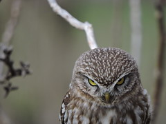 Civetta / Little Owl (Athene noctua) (Tomasi Mirko) Tags: birdwatching varese birdwatcher littleowl civetta athenenoctua arcisate fantasticnature yourbestoftoday allnaturesparadise