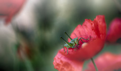 tiny in the red (frederic.gombert) Tags: light red sun color macro green colors grass insect tiny poppy poppies grasshopper greatphotographers macrodreams