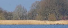 Vol de nonnettes sur le marais (Aves view) Tags: marais roseaux oies bernache nonnette