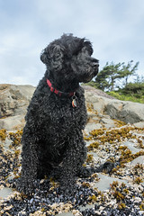 A day at the beach (tmeallen) Tags: canada black wet rock britishcolumbia posing pacificocean curly tofino barnacles lowtide mussels petportrait pacificrimnationalpark chestermanbeach portuguesewaterdog rockweed windblowntrees
