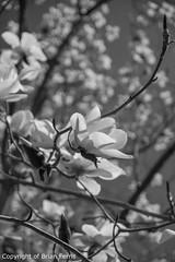 IMGP1117-2 (acornuser) Tags: park trees blackandwhite bw reflection water woodland garden landscape waterfall spring surrey cascade virginiawater blosom sigma1770 pentaxk3